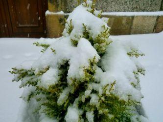 Sabugueiro - Neve